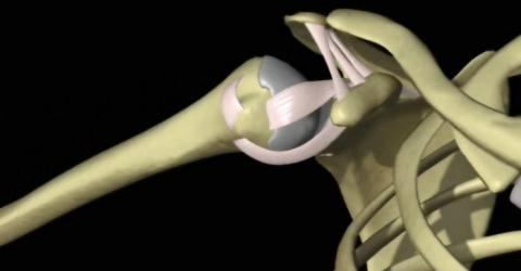 Shoulder 3D Anatomy